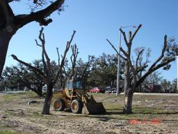 Oak_trees_1_3